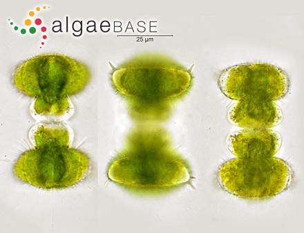 Sargassum micromerum (J.Agardh) J.Agardh