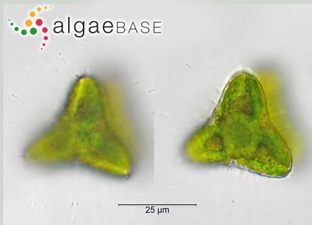 Sargassum spathulatum J.Agardh