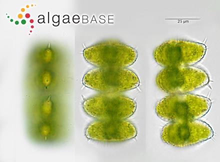 Sargassum horneri var. densum C.Agardh