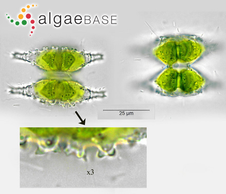 Sargassum longifructum C.K.Tseng & B.Lu