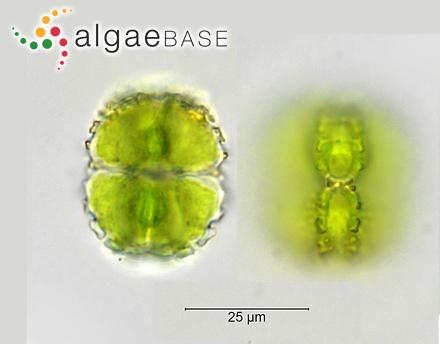 Halochloa pallida (Turner) Kützing
