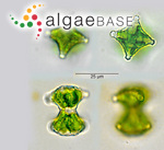Staurastrum margaritaceum Meneghini ex Ralfs