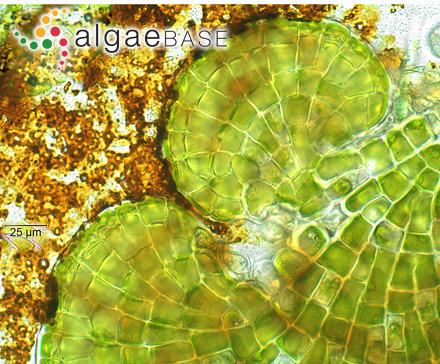 Fucodium chondrophyllum (R.Brown ex Turner) J.Agardh