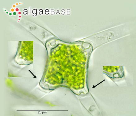 Monostroma endiviifolium A.Gepp & E.S.Gepp
