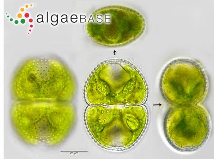Millepora tortuosa Esper