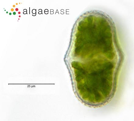 Ceramium nodulosum var. barbatum (Kützing) Furnari & Serio