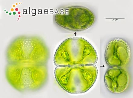 Amphiroa verrucosa Kützing