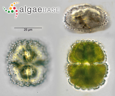 Haliptilon attenuatum (Kützing) Garbary & H.W.Johansen
