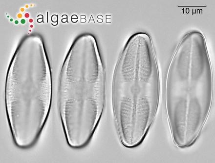 Trichosolen solomonensis (Womersley & A.Bailey) D.M.John