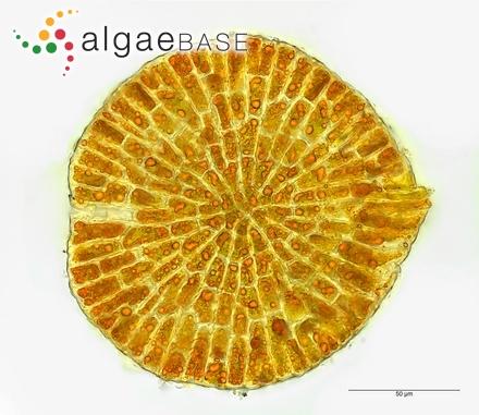 Entocladia robusta var. valoniopsidis A.B.Cribb