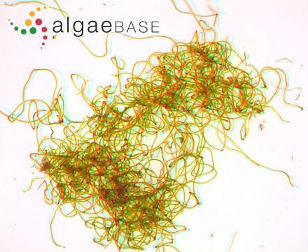 Entocladia velutina A.B.Cribb