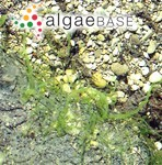 Tetraspora cylindrica (Wahlenberg) C.Agardh