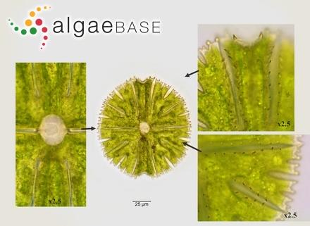 Gelidium constrictum (Turner) Kützing
