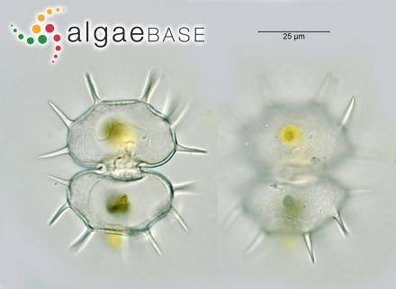 Sphacelaria racemosa var. arctica (Harvey) Reinke