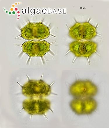 Xanthidium cristatum Brébisson ex Ralfs