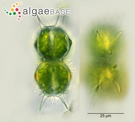 Sphacelaria clevei Grunow