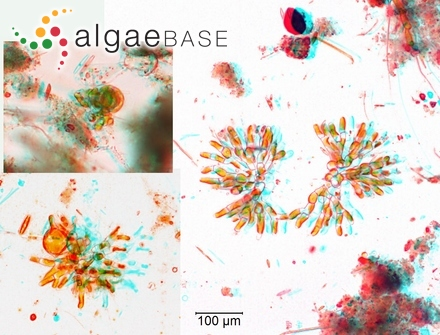 Anfractutofilum umbracolens A.B.Cribb