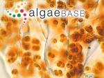Gloeocapsopsis magma (Brébisson) Komárek & Anagnostidis ex Komárek