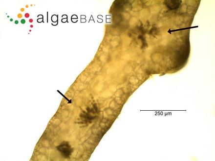 Caulerpa taxifolia var. crassifolia C.Agardh