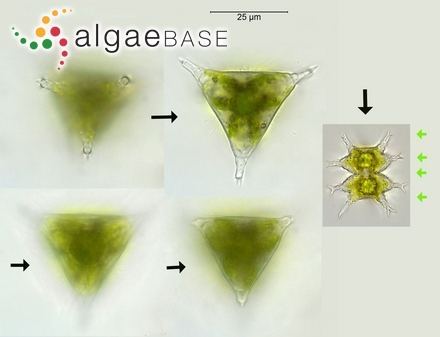 Caulerpa racemosa var. microphysa (Weber-van Bosse) Reinke