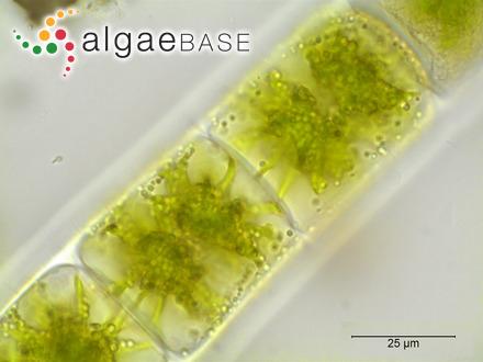Ptilocladia yuenii I.A.Abbott