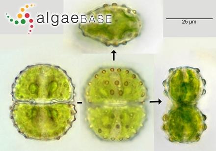 Enantiocladia robinsonii (J.Agardh) Falkenberg