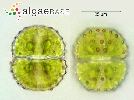 Hypoglossum wynnei I.A.Abbott
