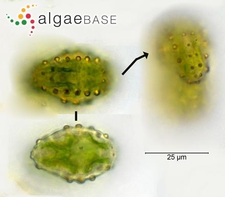 Gelidium galapagense W.R.Taylor
