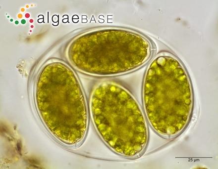 Laurencia filiformis f. decussata A.B.Cribb