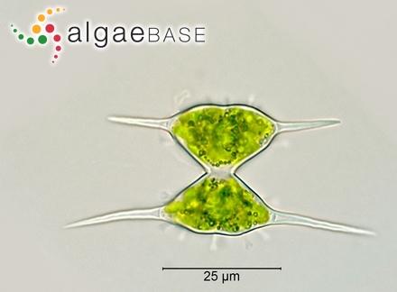 Spyridia tasmanica (Kützing) J.Agardh