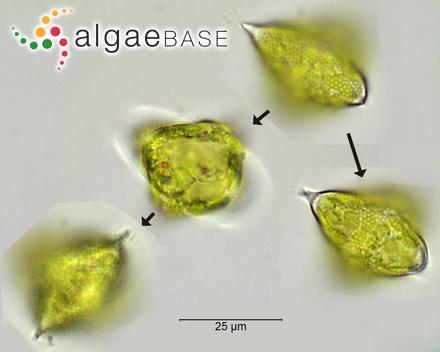 Thamnoclonium tissotii Weber Bosse