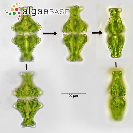 Sphacelaria scoparia var. aestivalis J.Agardh