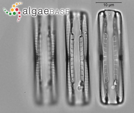 Halopteris spinulosa (Lyngbye) Sauvageau