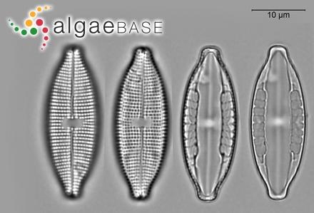 Stypocaulon scoparium f. petentissimum (Sauvageau) Lund