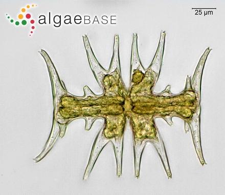 Sporochnus aculeatus (Linnaeus) C.Agardh