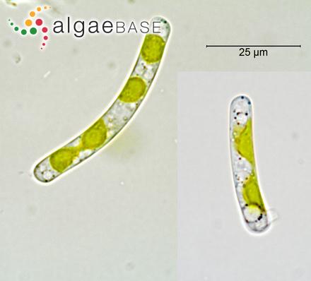 Caulerpa simplex Levring