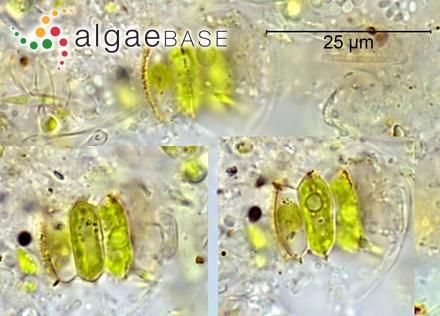 Pringsheimiella gratulans (Weber-van Bosse) R.Nielsen & McLachlan
