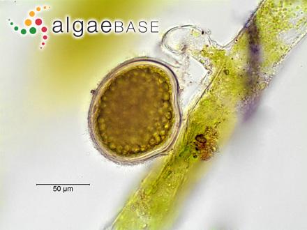 Cladophora timorensis G.Martens