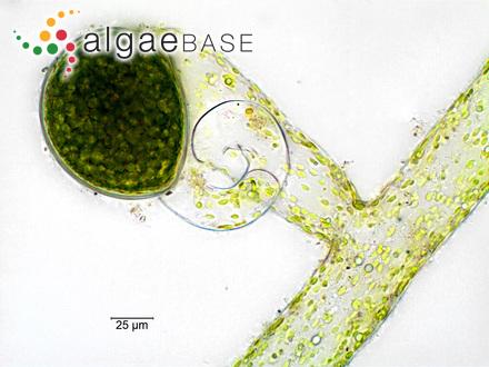 Cladophoropsis infestans Setchell
