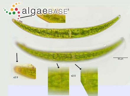 Sargassum tenuissimum (Endlicher & Diesling) Grunow