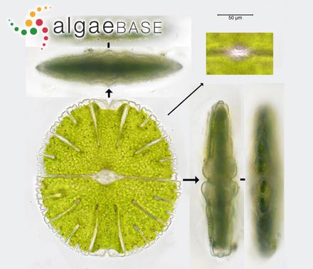 Sargassum teretifolium J.Agardh