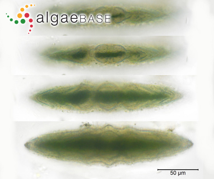 Sargassum tilesii Grunow