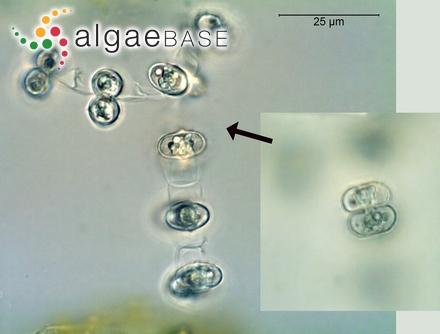 Ceramium brachygonum Lyngbye