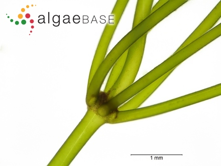 Ceramium elongatum var. proliferum (C.Agardh) Oersted