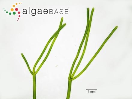 Hutchinsia divaricata C.Agardh