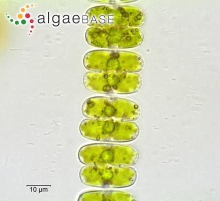 Hutchinsia pulvinata (Roth) C.Agardh