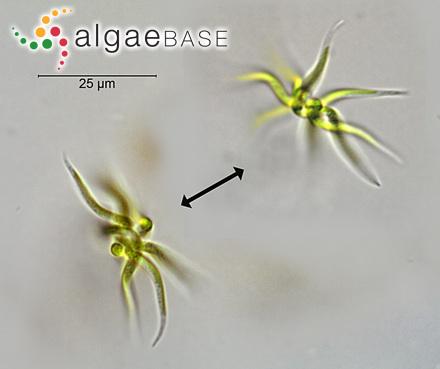 Caulerpa alternifolia P.Crouan & H.Crouan