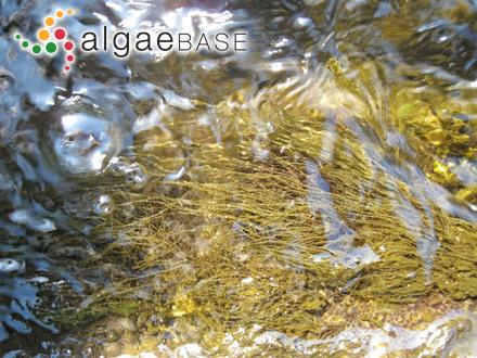 Stenopeltis setchelliae (Yamada) Itono & Yoshizaki