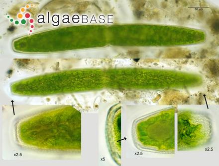 Siphonocladus filiformis (Dickie) De Toni