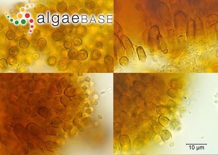 Sargassum vigorosum P.C.Silva